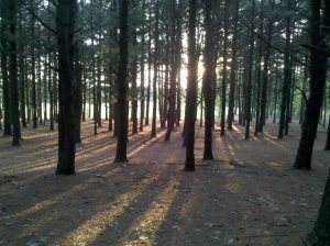 Light in the pines!